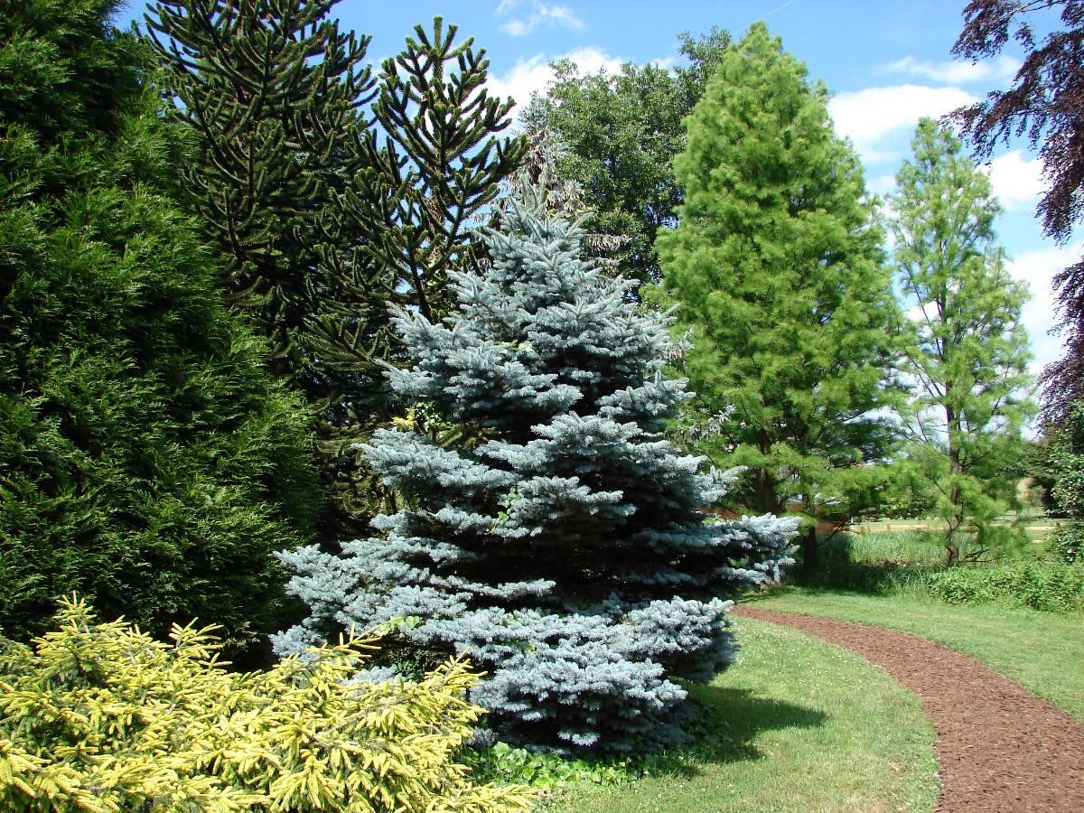 Wonderful Idea Verde Presso I Propri Vivai Dispone Di Varie Tipologie Di Alberi Di  Conifere