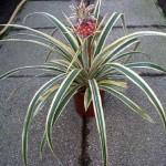 pianta-ornamentale-ananas-comosus
