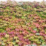 edera-piante-tapezzanti